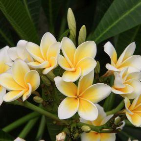 Frangipani White  ] 2459500200P - Flower Power