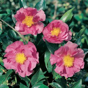 Camellia Hybrid Dream Girl  ] 2859600190P - Flower Power
