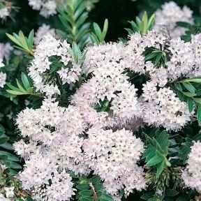 Hebe diosmifolia  ] 3308000140P - Flower Power