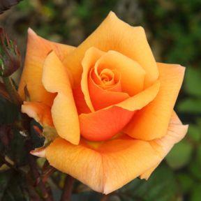 Copper Gem Rose  ] 3629300200 - Flower Power