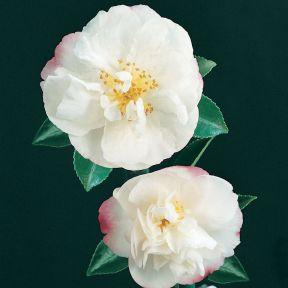 Camellia Sasanqua Paradise Jenni  ] 4694700190P - Flower Power
