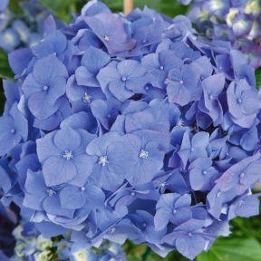 Hydrangea Blue  ] 683405820734P - Flower Power