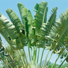 Travellers Palm  ] 683405823551P - Flower Power