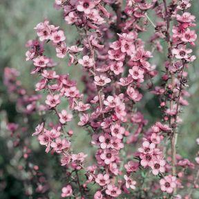 Tea Tree Wiri Shelley  ] 6864400200 - Flower Power