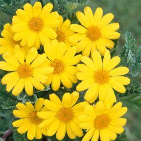 Euryops Little Sunray  ] 7323100140P - Flower Power