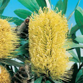 Banksia Integ Prostrate  ] 8116700140P - Flower Power