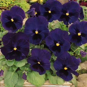 Pansy Blue With Face  ] 8208701002P - Flower Power