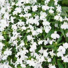 Lobelia White  ] 8429501002 - Flower Power
