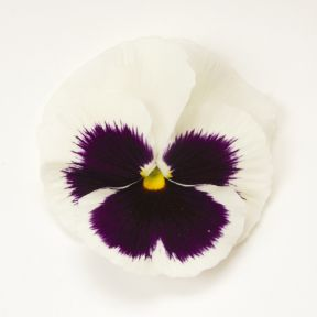 Pansy White Face  ] 8430201002P - Flower Power