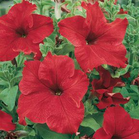 Petunia Red  ] 8430701002P - Flower Power