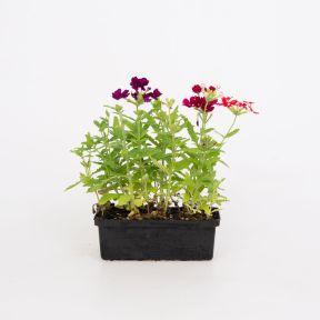 Verbena Mixed  ] 8431801002 - Flower Power