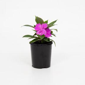 New Guinea Impatiens Harmony Dark Lilac  ] 9000440140 - Flower Power