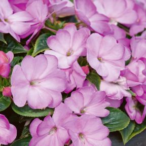 New Guinea Impatiens Harmony Radiance Lilac  ] 9000510140 - Flower Power