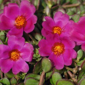 Purslane Portogrande Magenta  ] 9000840140 - Flower Power