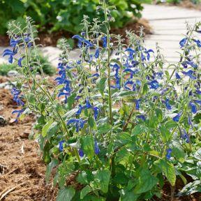 Salvia Compact Blue  ] 9002320085 - Flower Power