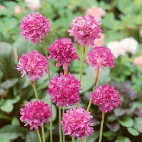 Armeria Maritima  ] 9004050085 - Flower Power
