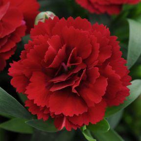 Carnation Oscar Dark Red  ] 9004390140 - Flower Power