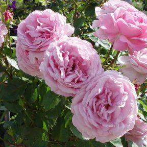 My Hero PBR Rose  ] 9008300200 - Flower Power