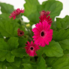 Gerbera Garvinea Sweet Dream  ] 9010130180 - Flower Power