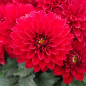 Dahlia Grandalia Dark Red  ] 9011750140 - Flower Power