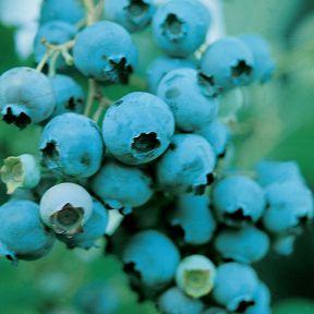 Blueberry Nui  ] 9012330135 - Flower Power