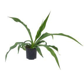 Furcraea Mauritius Hemp  ] 9013480200P - Flower Power