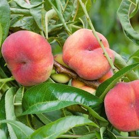 Peach Angel Flat Peach  ] 9014120250 - Flower Power
