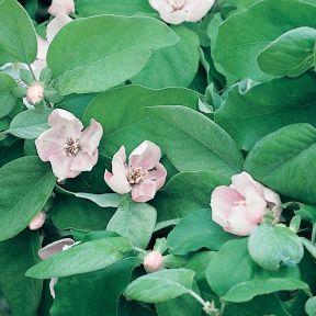 Quince Smyrna  ] 9020510250 - Flower Power
