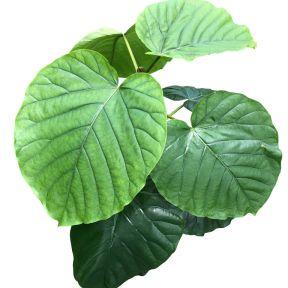 Ficus Umbellata  ] 9025840125P - Flower Power