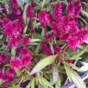 Celosia Intenz Dark Purple  ] 9035920140 - Flower Power
