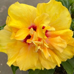 Hibiscus Adonicus Double Yellow  ] 9037960165 - Flower Power