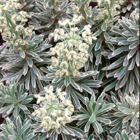Euphorbia Silver Swan  ] 9313208006103P - Flower Power