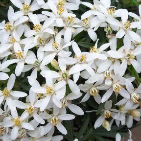 White Dazzler Mexican Orange Blossom  ] 9313208012586P - Flower Power