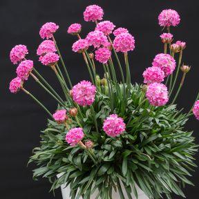Armeria Bees Ruby  ] 9313208013545 - Flower Power