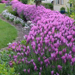 The Princess Lavender  ] 9313208014733P - Flower Power