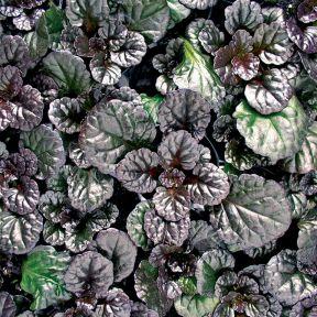 Ajuga Black Scallop  ] 9313208017451 - Flower Power