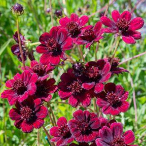 Cosmos Chocoholic  ] 9313208053848P - Flower Power