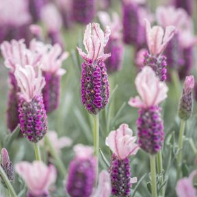Lavender Ghostly Princess  ] 9313208564504P - Flower Power