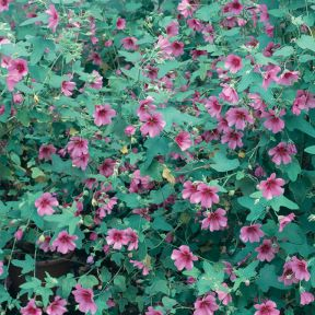 El Royo African Rose  ] 9313208565495P - Flower Power