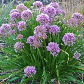 Allium Millenium  ] 9313208565570P - Flower Power