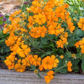Geum Fireball  ] 9313208566171 - Flower Power