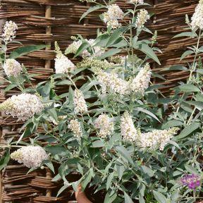 Ivory Butterfly Bush  ] 9313598104854P - Flower Power