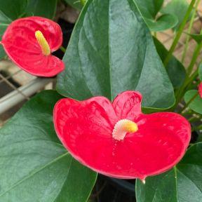 Anthurium 'Matiz'  ] 9313598109019 - Flower Power