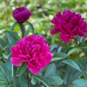 Peony Felix Crousse  ] 9315774074401 - Flower Power