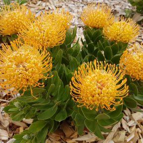 Leucospermum Carnival Yellow  ] 9317024002677P - Flower Power