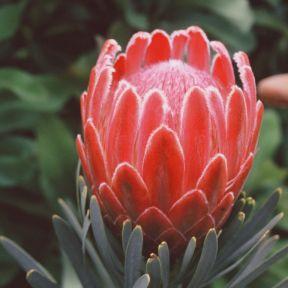 Protea Venus  ] 9317024003988P - Flower Power