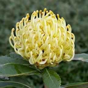 Waratah Shady Lady Yellow  ] 9317024006057P - Flower Power