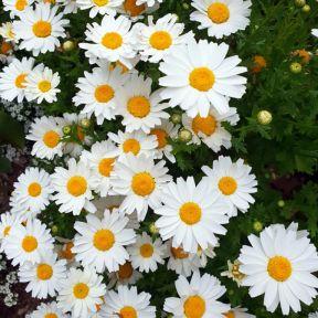 Shasta Daisy  ] 9317182017315P - Flower Power