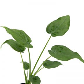 Alocasia Cuculatta  ] 9317182031748P - Flower Power