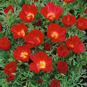 Eschscholzia Red Chief  ] 9317759021646 - Flower Power
